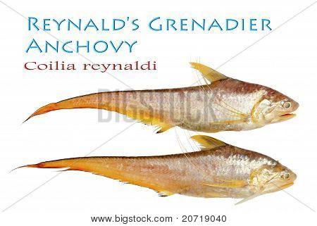 Reynald's Grenadier Anchovy - Coilia reynaldi Valenciennes 1848