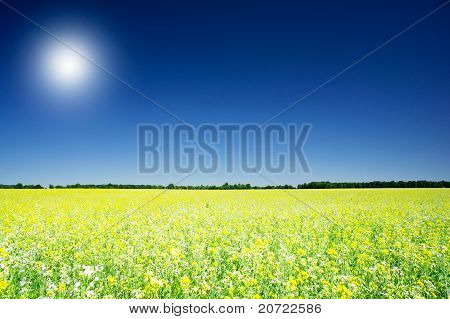 Golden Rapeseed Field Under Blue Sky And Sun.