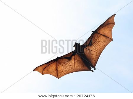 Flying fox in the sky of Sri Lanka