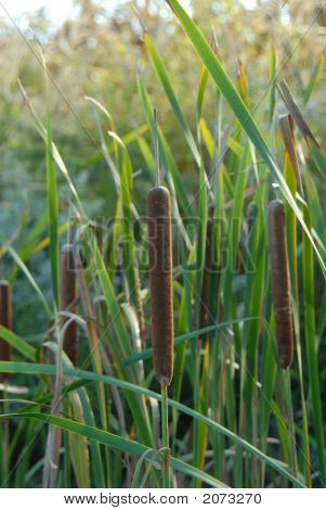 Cattails 2
