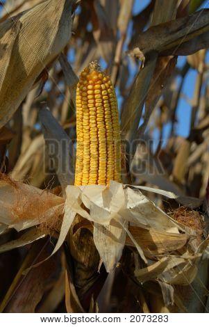 Harvest Ear 2