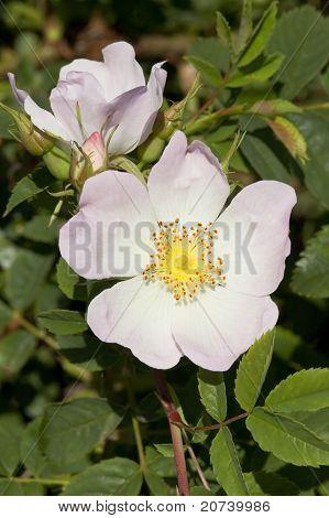 Wild Dog Rose