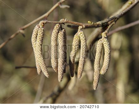 Catkins Of Common Hazel