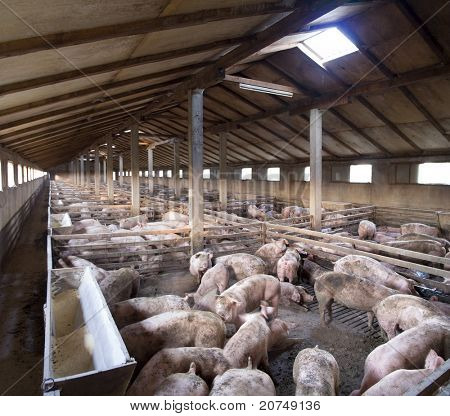Vanish view of Inside of Big breeding pig farm