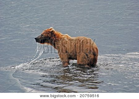 Grizzly On Kodiak Island