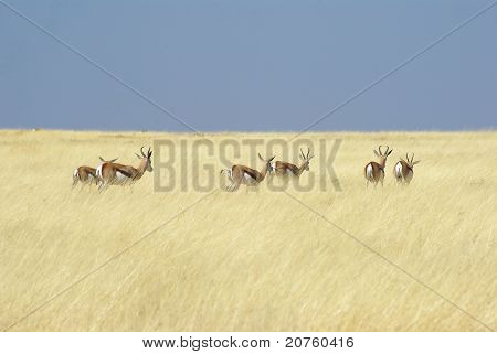 Herd of antilopes