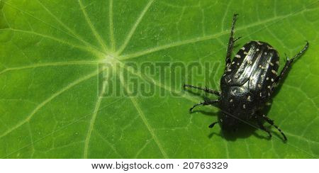 black spotted beetle sitting on a green leaf