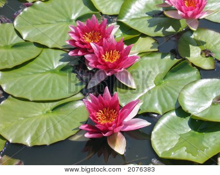 Water Lillies In A Pool