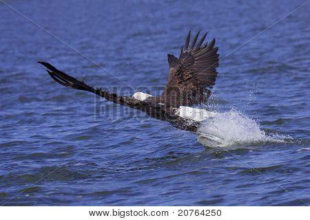 Eagle Attackes Its Prey