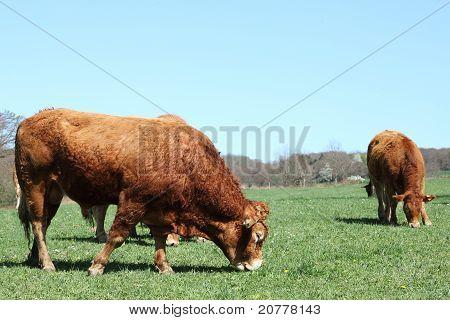 Grazing Limousin Bull