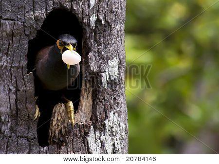 Myna Bird Images Myna Bird With a Egg