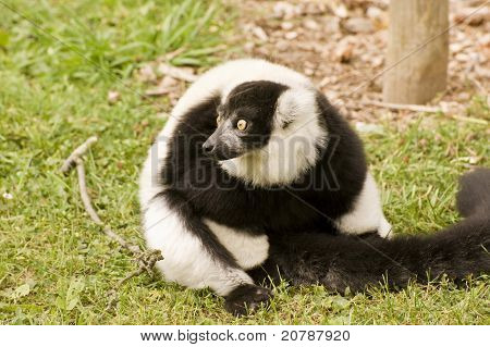 Black And White Ruffed Lemur In Captivity