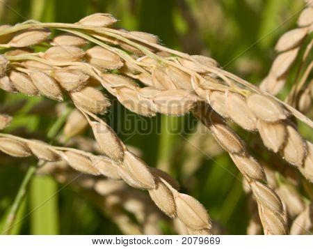 Rice On Plant