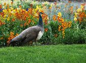 stock photo of peahen  - Peahen strolling on the lawn along the colorful flowerbed - JPG