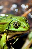 foto of lurch  - close up of a little green frog - JPG