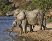 stock photo of mother goose  - A mother an her two babies drinking water on The Chobe River in Botswana Africa