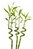 Постер, плакат: Изолированные ростки Зеленый бамбук