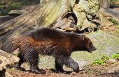 picture of wolverine  - Wolverines - JPG