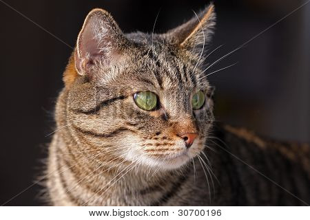 Mixed-breed cat