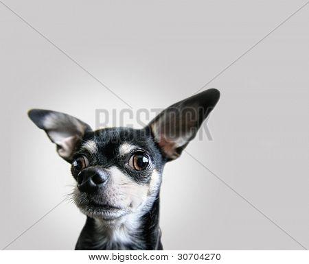 un chihuahua sobre fondo aislado