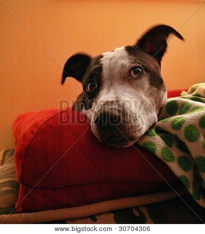 a pit bull resting in her bed