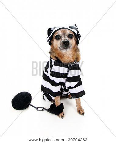 a chihuahua wearing a prison uniform