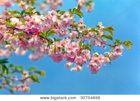 blossom almonds tree