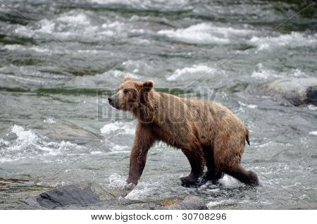 Large Brown Bear Fishing For Salmon In A River