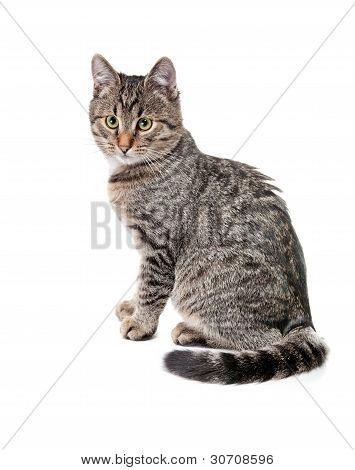 Gatito atigrado con blanco Mota