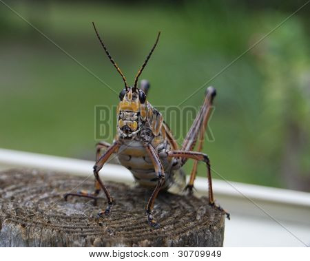 Grasshopper on a Post