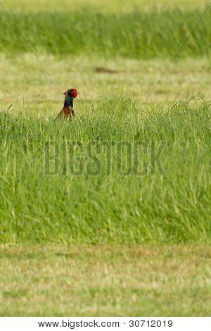 A Pheasant In A Field