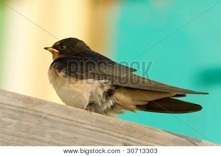 A Young Swallow