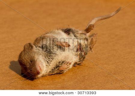 Um rato morto