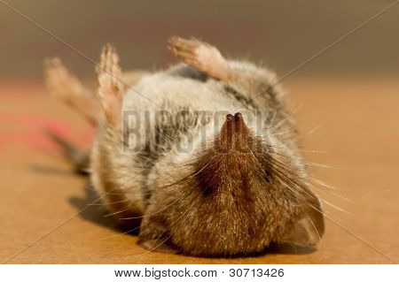 Un ratón muerto