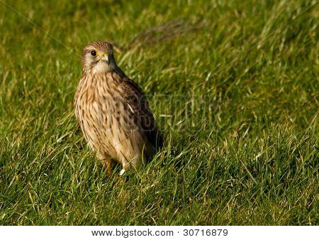A Falcon In A Green Field
