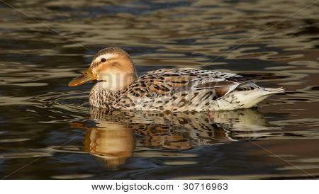 A Wild Duck Swimming