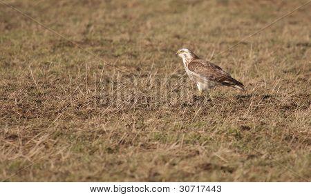 A Buzzard In A Field