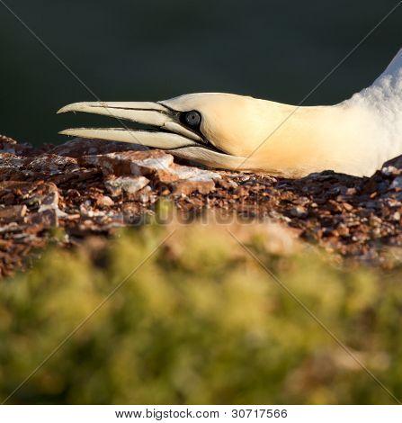 A Gannet