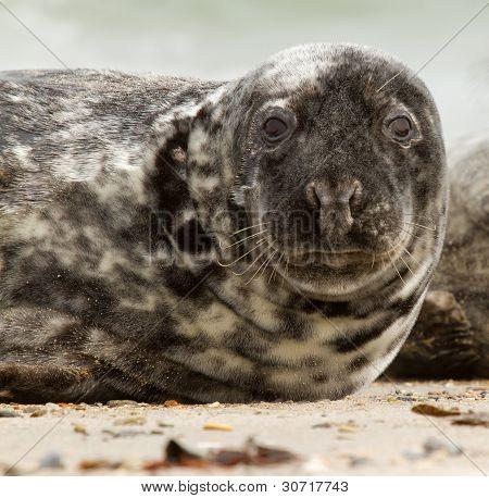 Una foca gris