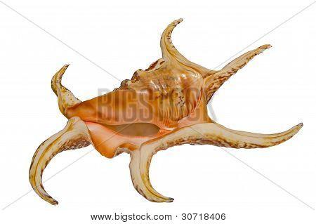 Sea shell Harpago