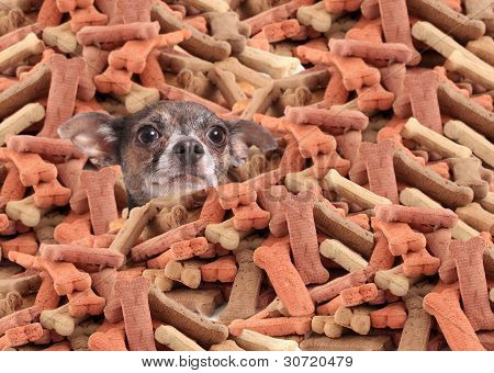 Chihuahua Buried In Dog Bones