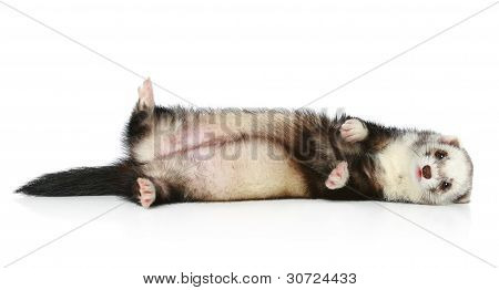Ferret Lying On Site A White Background
