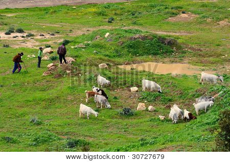 JERUSALEM - FEBRUARY 18: Palestinian sheep herders in a field February 18, 2012 in Jerusalem, IL. Herding is a traditional occupation in the region since antiquity.