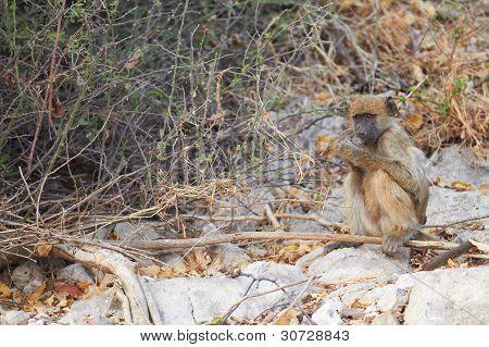 Chacma Baboons