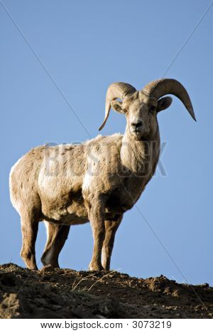 Bighorn Sheep Atop Cliff