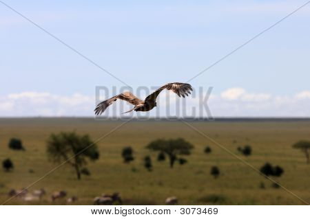 Hawk Over African Plains