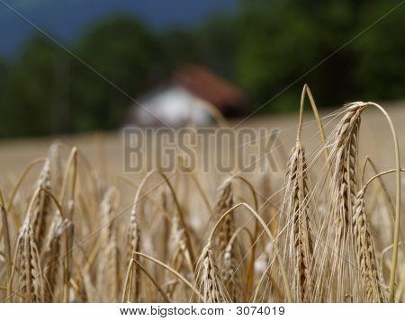 Wheat In Switzerland