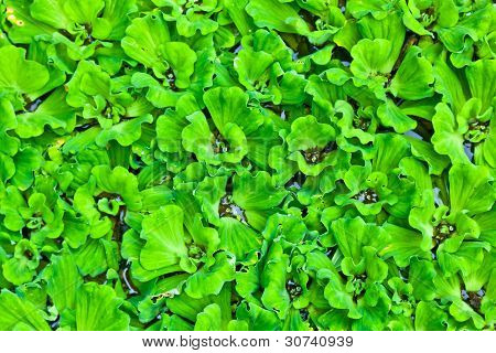 The Group Of Water Lettuce