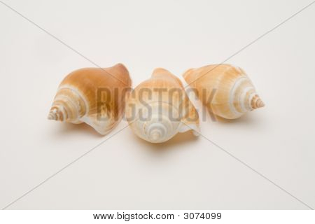 Decorative Seashells