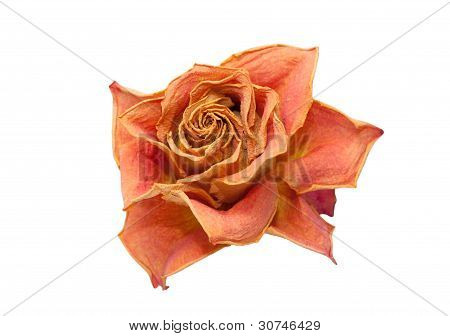 dry rose on a white background